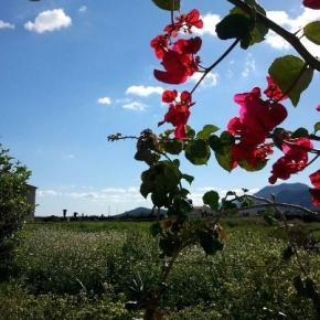 L'estiuet de San Martí  podría reapareixer esta propera setmana.  (Benicull del Xúquer  2-11-2012)
